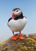 Bird Puffin — Stock Photo