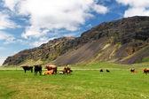 Koe op groene weide — Stockfoto