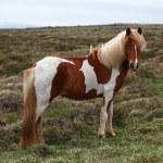 Iceland horse — Stock Photo #41141593
