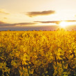Flower Yellow field — Stock Photo #42052321