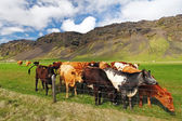 Cow on green meadow in Iceland — Stock Photo
