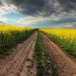 Sunset over canola field with path  in Slovakia - panorama — Stock Photo #45358201