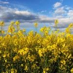 Canola Yellow field — Stock Photo #45774873