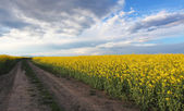 Yellow field - Rape — Stock Photo