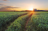 Rural countryside with wheat field and sun — Stock Photo