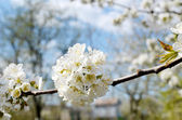 Blossom of the tree — Stock Photo