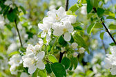 Spring blossom of the pear tree — Stock Photo