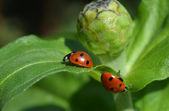 Two ladybugs vice versa to each other — Stock Photo