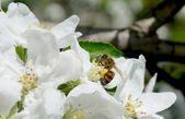 Blossom of the pear tree with working bee — Stock Photo