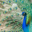 Portret of beautiful peacock with bright turquoise feathers — Stock Photo #46193651