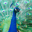 Portret of beautiful peacock with bright turquoise feathers — Stock Photo #46193653