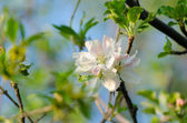 Spring blossom of the apple tree — Foto de Stock