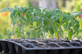 Tomato seedings in the spesial cells before planting in the ground — Stock Photo