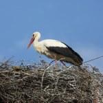 Stork on the nest — Stock Photo #24556397