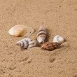 Royalty-Free Stock Photo: Seashell 6