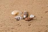 Seashell 6 — Stock Photo