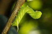 Caterpillar butterfly — Stock Photo