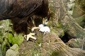 Bozkır kartalı - aquila nipalensis fare yiyor. — Stok fotoğraf