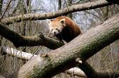 Panda rojo — Foto de Stock