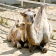 Camel and her baby — Stock Photo