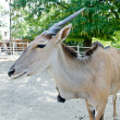 Antelope - common eland — Stock Photo