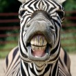 Funny zebra — Stock Photo #27785349