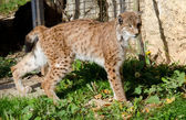 Eurasian Lynx — Stock Photo