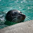 Seal — Stock Photo #35237793