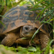 Stock Photo: Tortoise in grass