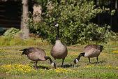 Canadian ducks — Stock Photo