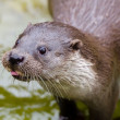 Little Otter — Stock Photo