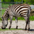 Zebra grazing — Foto Stock