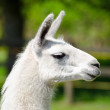 Stock Photo: White lama