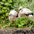 white storks — Stock Photo