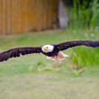 Bald eagle — Stock Photo