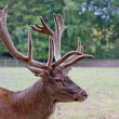 Big deer — Photo #33061681