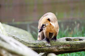 South American Coati (Nasua nasua) — 图库照片