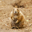 Black-tailed prairie dog (Cynomys ludovicianus) — Stock Photo #34560115
