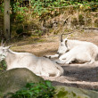 Foto Stock: Mountain goats