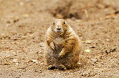 Black-tailed prairie dog (Cynomys ludovicianus) — Stock Photo