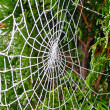 Stock Photo: Cobweb at frost