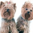 Stock Photo: Yorkshire Terriers