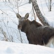 A young moose in winter forest — Stock Photo