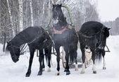 Three black horses — Stock Photo