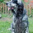 Постер, плакат: Beautiful English setter