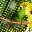 Stock Photo: Parakeet in cage