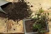 пересаживать бонсай вяз мелколистный — Стоковое фото