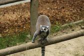 Katta lemurer — Stockfoto