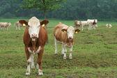 Lait de vache — Photo