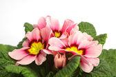 çuha çiçeği — Stok fotoğraf